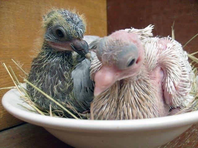 дети голубей